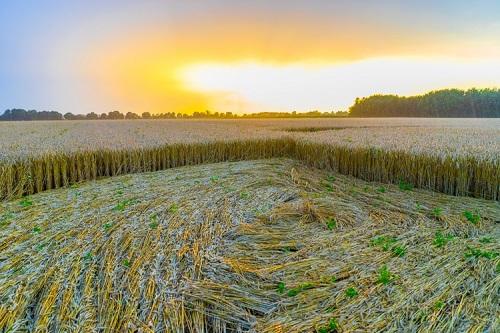 champs de coupe blé