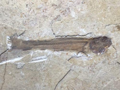 fossile de poisson pris dans du calcaire